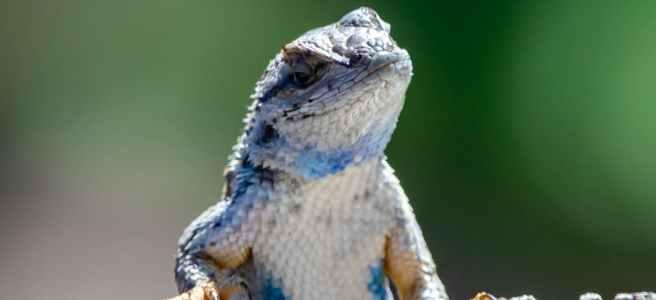 king lizard poem by steven humphreys