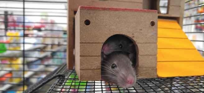 my pet rat my best friend